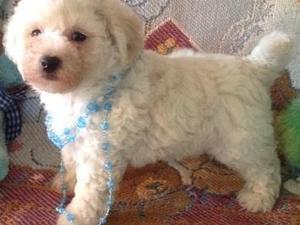 Beautifull litter of bichon  frise puppy