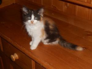 very pretty tricoloured female ragdoll/persian