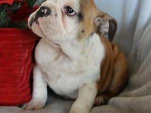 FULLY VET CHECKED AND VACCINATED BRITISH BULLIE PUPS NOW READY FOR THEIR NEW LOVING HOMES!!