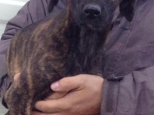 Saluki greyhound whippet boy puppy