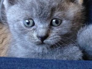 5 Full Blue British Shorthair kittens