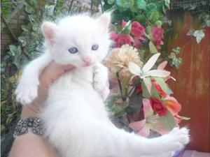 Cream Ragdoll kittens from award winning breeder