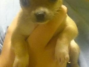 Chihuahua puppies for sale one girl and two boys