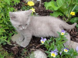 digest all our pet advice Excellent British Lilac Male For Stud British short hair kittens