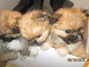 Pomeranian Teddy bear puppies for sale