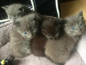 3 grey & 1 chocolate brown gorgeous kittens for sale