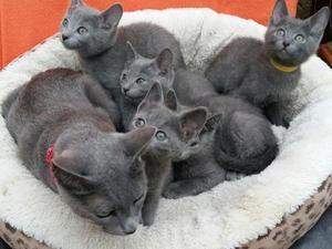 Russian Blue kittens - Amazing Pedigree