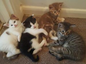 8 weeks old lovely kittens for sale