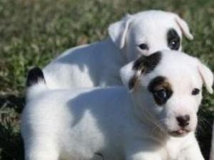 Gorgeous Jack Russell pups,wormed regularily,family reared