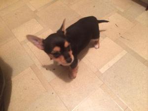 Chihuahua x yorkie