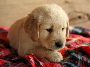 Where can i find a golden retriever puppy for sale