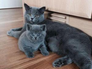 Blue Kittens For Sale : British shorthair blue kittens for sale in london: gorgeous bsh blue