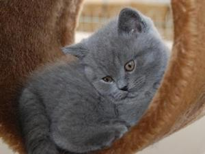 British shorthair for sale london