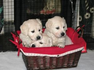 Golden retriever pups for sale hampshire