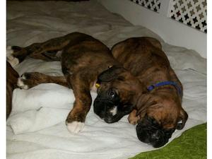 Beautiful kc registered boxer puppies