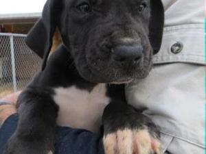 Quality Great Dane Puppies Boys & Girls Available.400