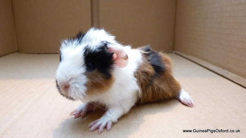 Sheba Mini Yak Guinea Pig Babies Boys And Girls For Sale