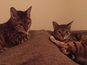 Two pedigree Bengal cats free to cat loving family