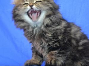 Pretty Scottish fold straight ear kittens for lovely home