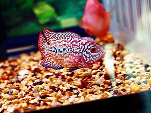 Super kingkamfa flowerhorn for sale - shipping available