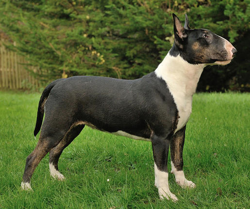 Greenlove Queen of Hearts Black brindle & white bull ...