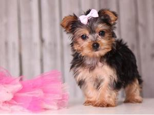 Precious baby yorkshire terrier puppies now available