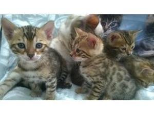 Bengal cat breeders heywood