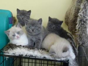 British shorthair kitten london