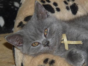 British blue shorthair kittens sale manchester