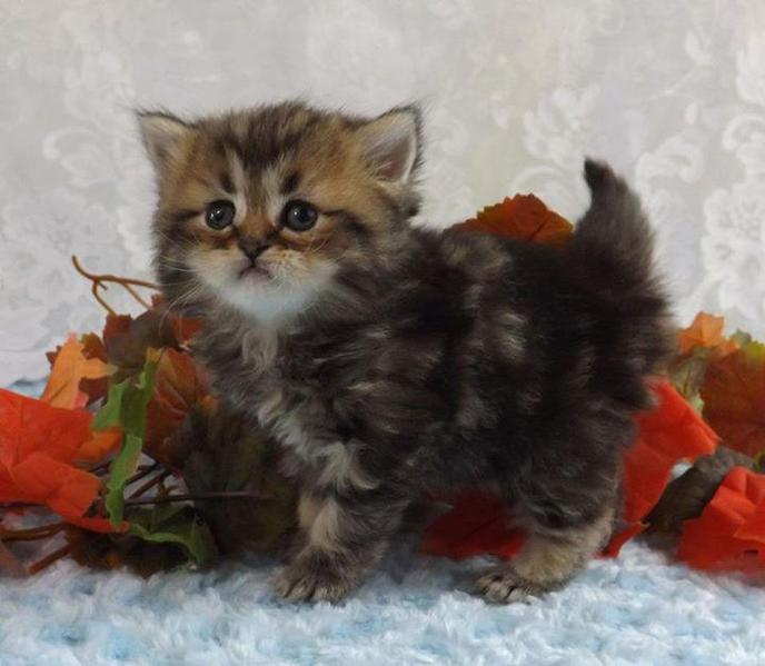 Munchkin Cats For Sale In The United Kingdom