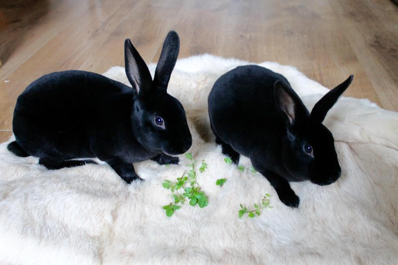 Black otter mini rex rabbits