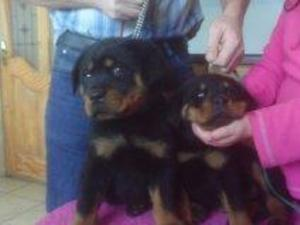 Puppy for sale evesham