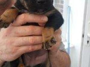 German shepherd x rottweiler puppies for sale uk