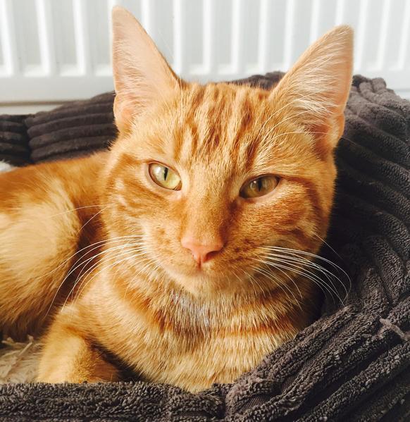 large ginger tom cat