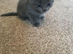 British shorthair blue kittens for sale london