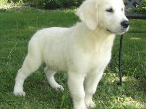 Golden retriever pups for sale louth
