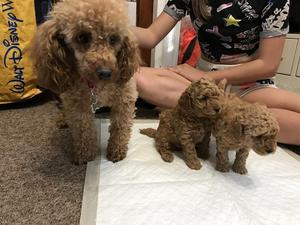 Toy poodle breeders aberdeenshire