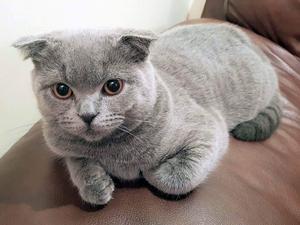 British shorthair cat breeder milton keynes