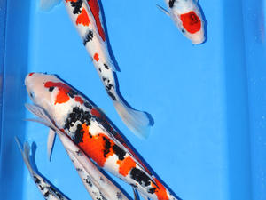 Cold water fish for sale friday ad for Tancho koi for sale