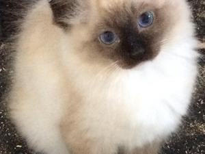 Himalayan kittens for sale glasgow