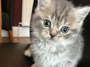 British blue shorthair kittens lancashire